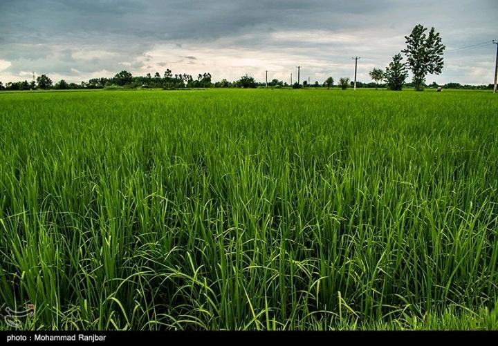 زیباکنار مزرعه