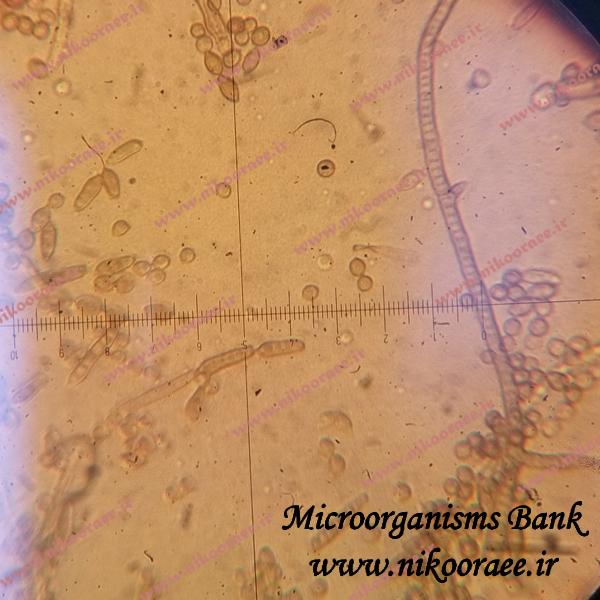 Cladosporium