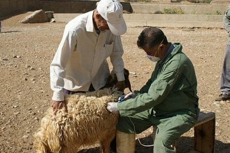 دام و طیور روستاهای آستارا رایگان واکسینه شدند